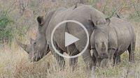 White Rhinoceros or Square-lipped Rhinoceros (Ceratotherium simum) cow and calf. Hluhluwe iMfolozi Park. KwaZulu Natal. South Africa