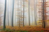 Beech forest on misty morning, Autumn, Nature Park, Spessart, Bavaria, Germany, Europe.