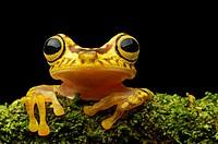 Imbabura Treefrog (Hypsiboas pictuator), Treefrog family (Hylidae), Choco rainforest, Ecuador.