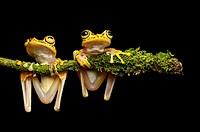 Two Imbabura Treefrogs (Hypsiboas pictuator), Treefrog family (Hylidae), Choco rainforest, Ecuador.