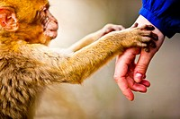 Monkeys of the Rock of Gibraltar (Iberian Peninsula, England - Spain, Europe).