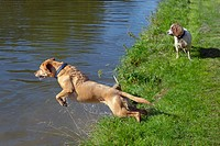 Yellow Labrador jumping into a canal Chilterns Buckinghamshire.