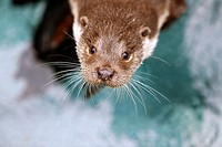 European Otter, lutra lutra, Portrait of Adult, Pyrennees in the South of France.