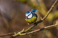 Germany, Saarland, Bexbach, A blue tit is sitting on a branch.