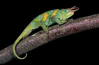 Jackson´s Chameleon, chamaeleo jacksoni, Male standing on Branch.