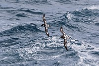 Adult cape petrels, Daption capense, in rough seas in English Strait, South Shetland Islands, Antarctica.