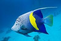 Yellowbar Angelfish, Pomacanthus maculosus, Red Sea, Dahab, Egypt.