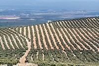 Landscape of olive trees during summer, cultivation ecologic, Spain.