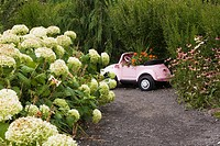 Hydrangea arborescens ´Annabelle´ flowers and Echinacea purpurea _ Coneflowers next to gravel path leading to pink decorative plastic miniature volksw...