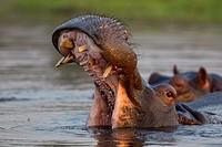 Hippopotamus (Hippopotamus amphibius), in the river, Chobe National Park, Botswana.