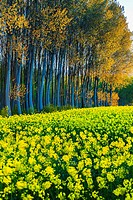 Rapeseed crop (Brassica napus) and poplar (Populus sp. ) grove. Murieta village. Estella Comarca, Navarre, Spain, Europe.