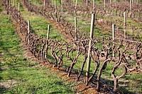Vineyard in Victoria, Australia.