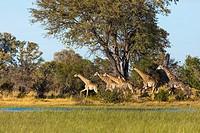 South African giraffe or Cape giraffe (Giraffa camelopardalis giraffa) running. Okavango Delta. Botswana.