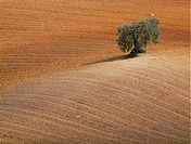 Andalusian landscape with Olive tree.