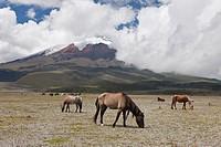Wild Horses grazing near Cotopaxi, Cotopaxi National Park, Ecuador.
