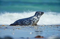 Close-up of harbor or harbour seal (Phoca vituliana vitulina) in spring (april) on Helgoland a small Island of northern Germany.