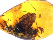 Amber with embedded beetle.