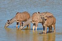 Greater kudus (Tragelaphus strepsiceros), drinking at a waterhole, Etosha National Park, Namibia, Africa.