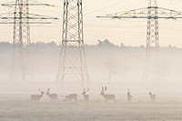 Herd of Fallow Deers (Cervus dama) in Front of High-Voltage Power Line on misty morning, Hesse, Germany, Europe.