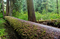 A fallen giant tree in the Grove of the Patriarchs at Mt. Rainier National Park in Washington State, USA.