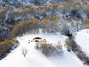 During the winter months, when snow covers pastures, cattle eat forage. In the image a slope of the mountains of O Courel Lugo snow cover.