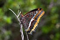 Mariposa del Madroño (Charases Jasius) en el mes de junio en el Parque Natural del Desierto de Las Palmas. Benicassim. Plana Alta. Castellón. Comunida...