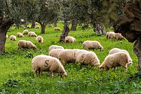Sheep grazing, Alqueria d Avall, Bunyola, region of the Serra de Tramuntana, Mallorca, Spain.