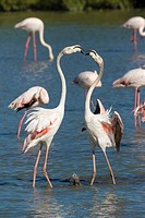 Greater flamingo (Phoenicopterus roseus), two adults fighting, Camargue, Bouches-du-Rhône, Provence, France.