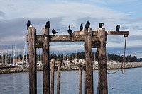 Cormorants and a lone Seagull on wooden pilings.