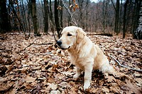 portrait of dog golden retriever in the woods.