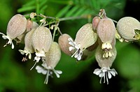 Silene vulgaris, the bladder campion or maidenstears, is a plant species of the genus Silene of the pink family (Caryophyllaceae). It is native to Eur...