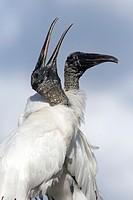 Wood Storks Courtship Behavior - Wakodahatchee Wetlands, Delray Beach, Florida, USA.