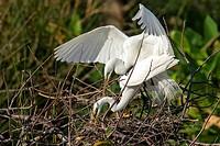 Great Egrets Mating - Wakodahatchee Wetlands, Delray Beach, Florida, USA.