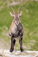 Alpine Ibex (Capra ibex), adult female standing on rock, Niederhorn, Bernese Oberland, Switzerland.
