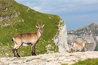 Alpine Ibex (Capra ibex), adult female with young standing on rock, Niederhorn, Bernese Oberland, Switzerland.