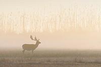 Fallow Deer (Cervus dama) on misty morning, Hesse, Germany, Europe.