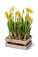 Wooden chest with fresh daffodils on white background.