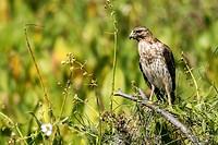 Juvenile Red-Shouldered Hawk (Buteo lineatus) - Green Cay Wetlands, Boynton Beach, Florida, USA.
