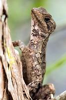 Basilisk Lizard - Green Cay Wetlands, Boynton Beach, Florida, USA.