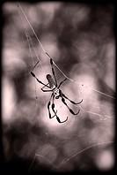 Golden silk spider on its web, Miami, Florida.