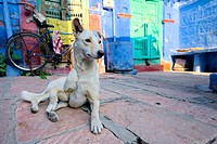 Stray dog close to a colorful house of Jodhpur.