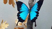 Swallowtail blue mountain butterfly (Papilio ulysses). Local Museum, Department of Entomology. Molina de Aragón, Guadalajara province, Spain