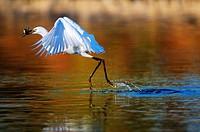 Little Egret(Egretta garzetta)Badajoz province.Estremadura.Spain