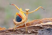 Mantis(Iris oratoria)Extremadura.Spain