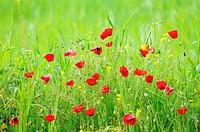Poppies(Papaver rhoeas)Badajoz province.Extremadura.Spain