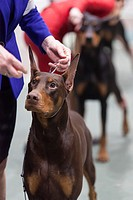 Seattle, Washington: Doberman Pinschers in the ring at the 2017 Seattle Kennel Club Dog Show. Approximately 160 different breeds participate in the an...