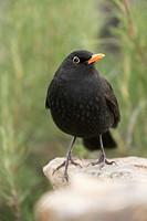 Blackbird (Turdus merula) male in the region of Los Serranos. Valencia.