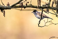 germany, saarland, bexbach, A blackcap is sitting on a branch.