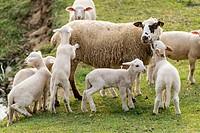 A family of sheep in a field, Sant Pau de Segúries, Ripollès, Catalonia, Spain, Europe.