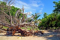 Trees, Barú Island, Colombia